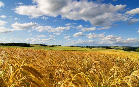 Фото бесплатно поля, колосья, пшеница