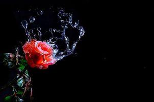 Бесплатные фото роза, цветок, вода, капли, брызги, флора, чёрный фон