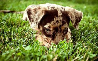 Фото бесплатно щенок, морда, глаза, взгляд, лапы, шерсть, трава