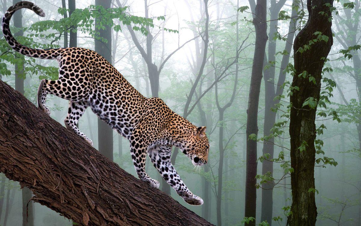 Фото бесплатно леопард, джунгли, дерево, пятна, кошки, кошки