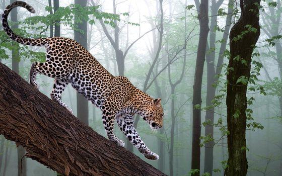 Заставки леопард, джунгли, дерево