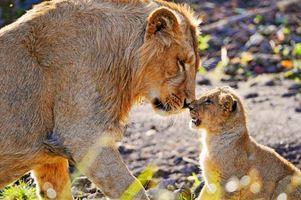 Фото бесплатно львица, львенок, мир