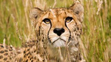 Бесплатные фото гепард, шерсть, окрас, дикий, колоски, поле, свет
