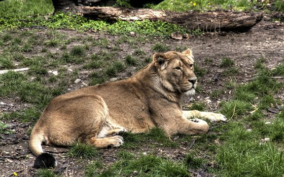 Бесплатные фото животное,хищник,отдыхает,трава,бревно,животные
