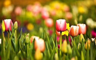 Бесплатные фото клумба, тюльпаны, бутоны, лепестки, стебли, листья, цветы