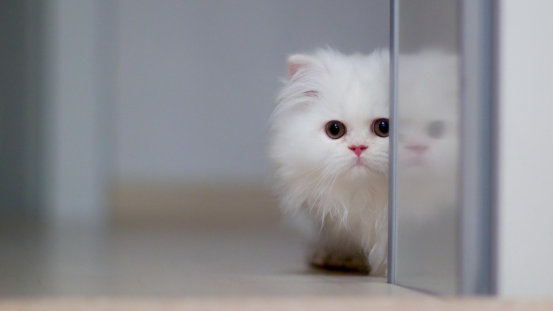котенок, белый, морда