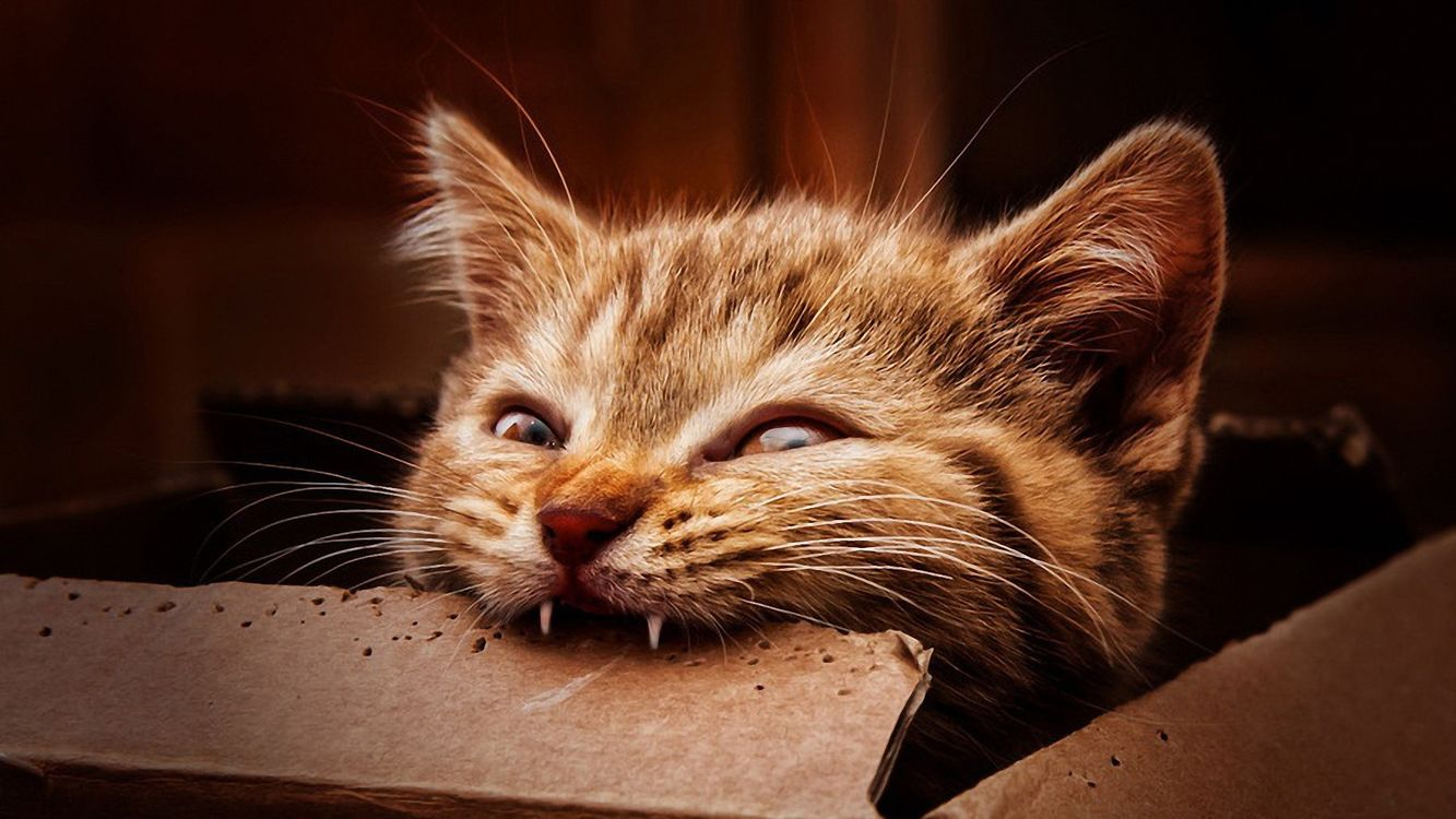 Фото бесплатно котенок, грызет, картон - на рабочий стол