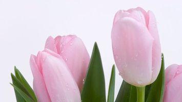 Фото бесплатно красивы, тюльпаны, листья
