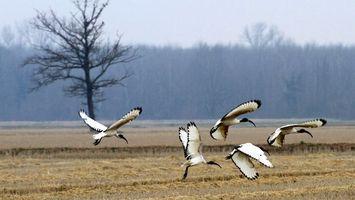 Заставки крылья, белые, клюв