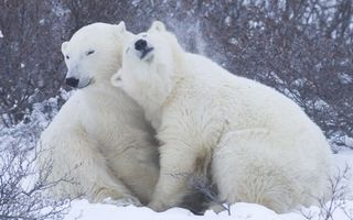 Photo free bears, white, wool