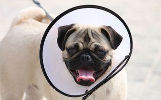 Бесплатные фото пес,щенок,нос,голова,уши,глаза,язык