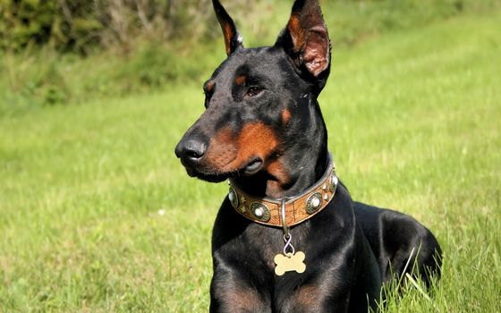 Photo free doberman, dog, puppy
