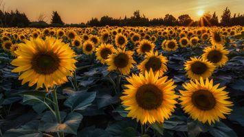 Фото бесплатно поле, подсолнухи, желтые