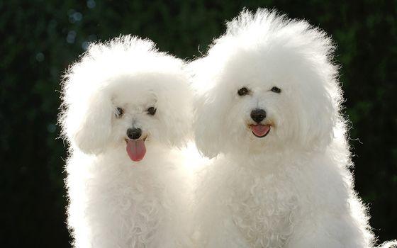 Photo free poodles, wool, curls