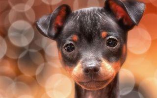 Бесплатные фото щенок,морда,глаза,уши,усы,шерсть,собаки
