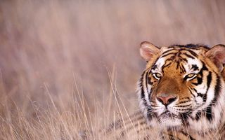 Фото бесплатно тигр, зверь, дикий, полосатый, трава, поле, охота, глаза, шерсть, нос, уши, животные