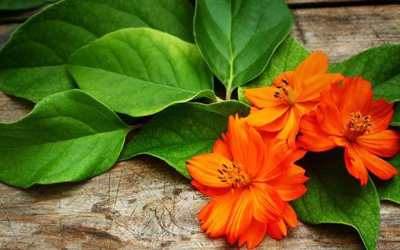 Фото бесплатно цветки, оранжевые, растение