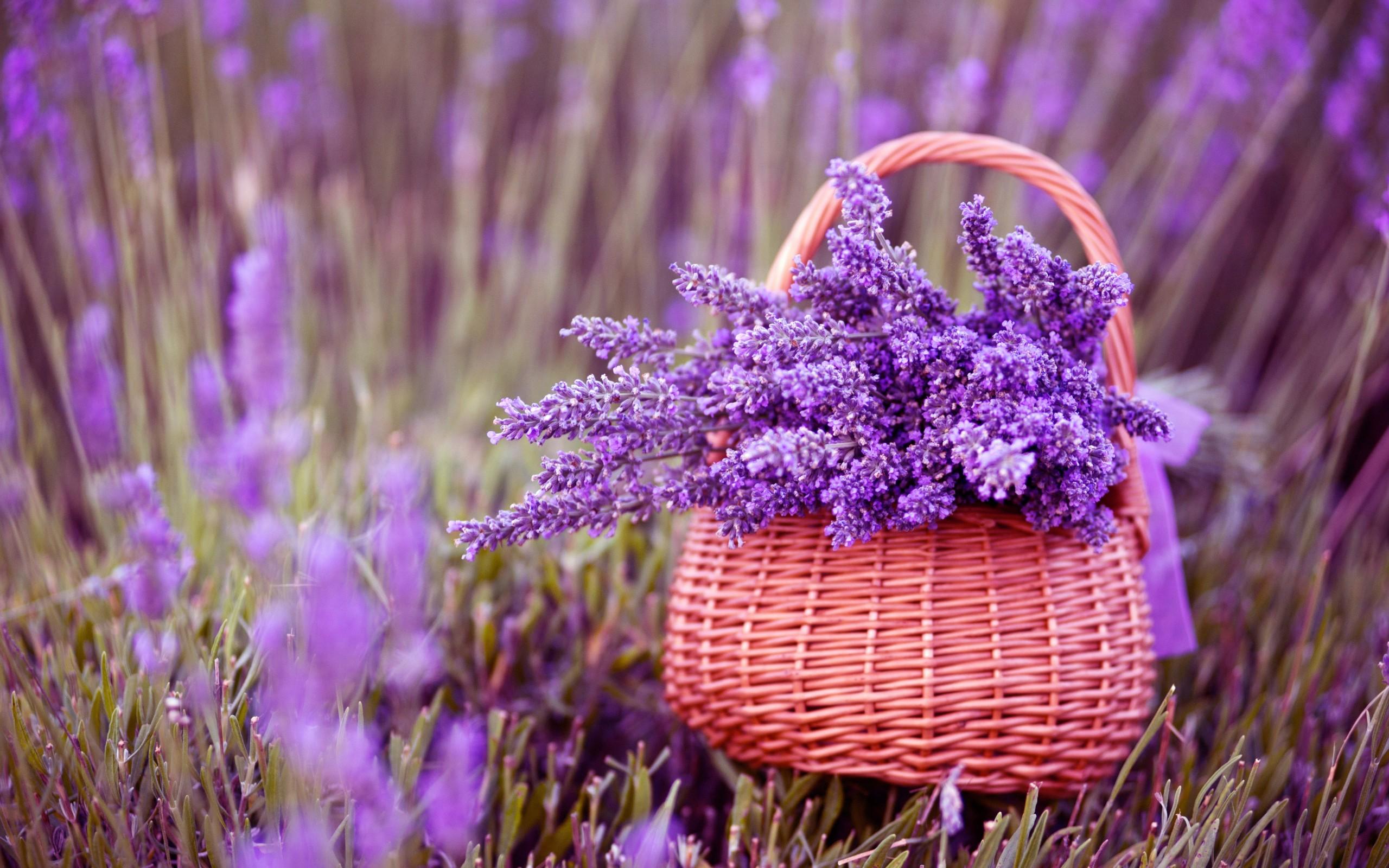 цветы, полевые, фиолетовые