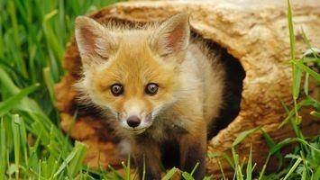 Фото бесплатно лисица, лиса, дерево