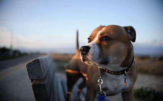 Бесплатные фото американский,стаффорд,ошейник,глаза,закат,деревянная,скамейка,собаки