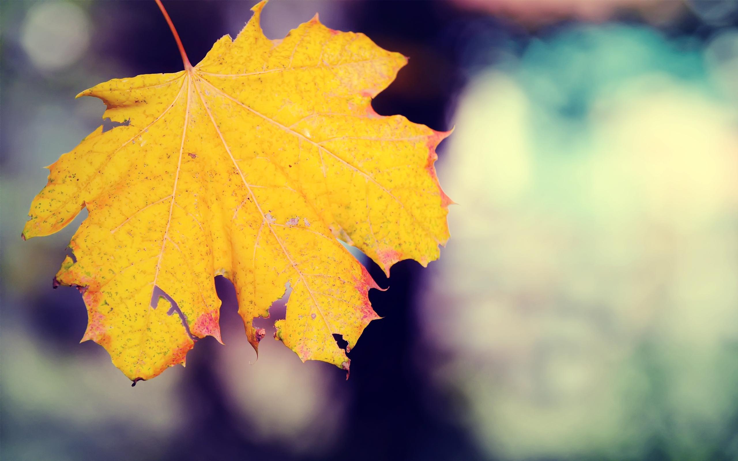 кленовый, лист, желтый