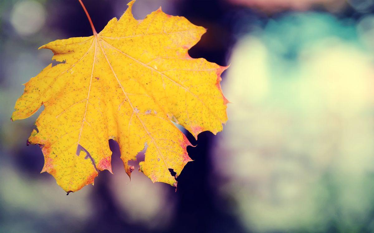 Фото бесплатно кленовый, лист, желтый, прожилки, природа, макро, макро