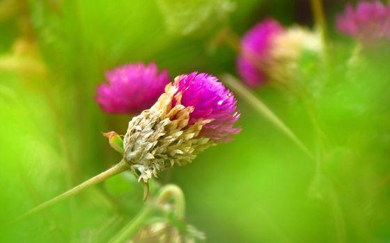 Заставки клевер, зелень, трава