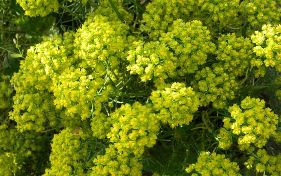 Photo free bush, flower, inflorescence