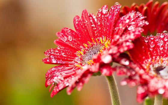 Photo free petals, red, drops