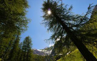 Фото бесплатно лес, сосны, деревья