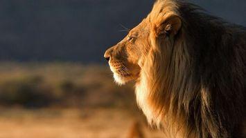 Заставки лев, зверь, мохнатый