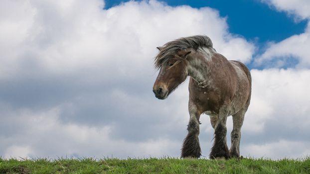 Фото бесплатно лошадь, конь, тяжеловоз, грива, трава, небо, облака