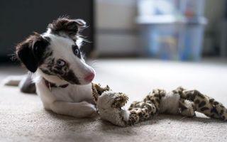 Бесплатные фото пес,морда,уши,лапы,ошейник,игрушка,собаки