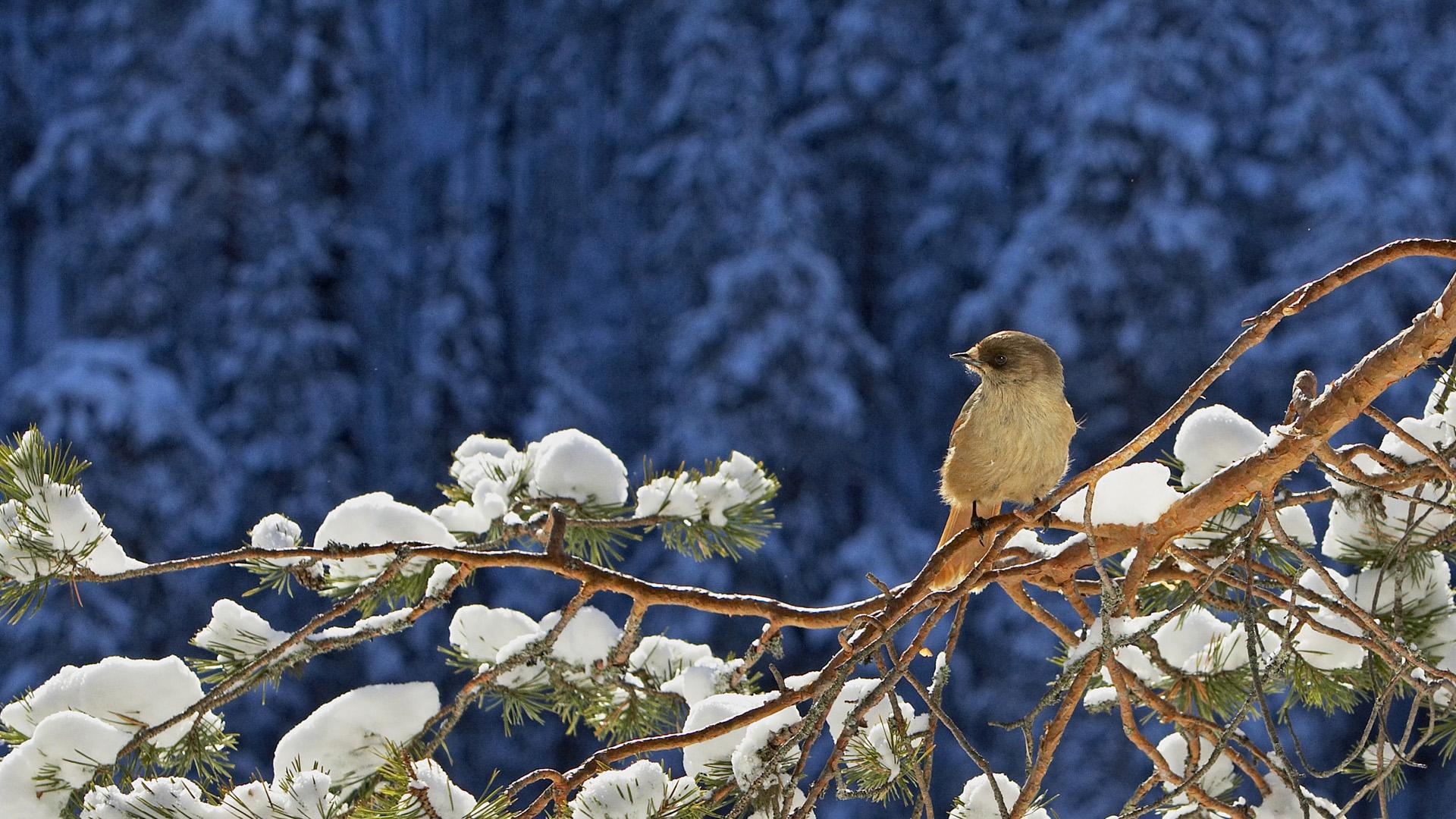 Птички на сосновых ветках бесплатно