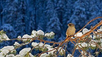 Фото бесплатно птица, сосна, снег