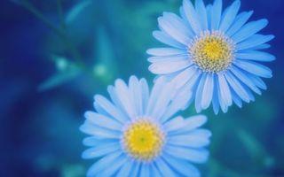 Бесплатные фото ромашки,голубые,лепестки,серединка,желтая,фото,цветы