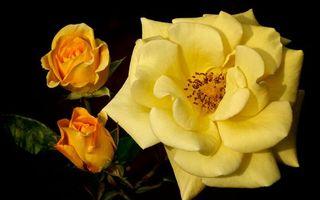 Заставки роза, желтая, лепестки, бутоны, листья, ветки, шипы, цветы