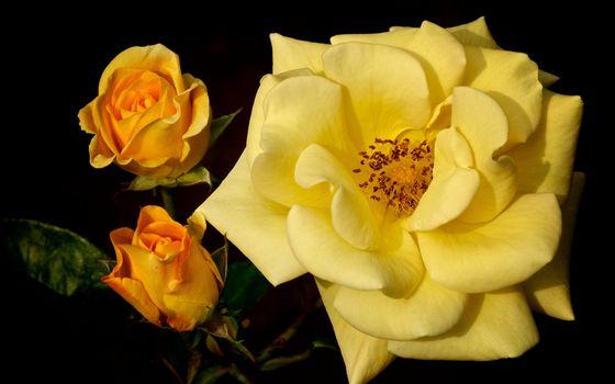 Бесплатные фото роза,желтая,лепестки,бутоны,листья,ветки,шипы,цветы