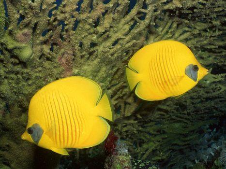 Заставки рыбы, желтые, плавники
