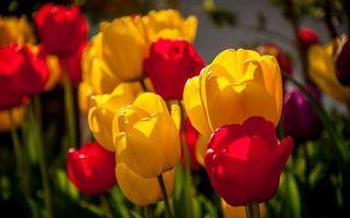 Бесплатные фото тюльпаны, красные, желтые, лепестки, лучи, солнца, макро