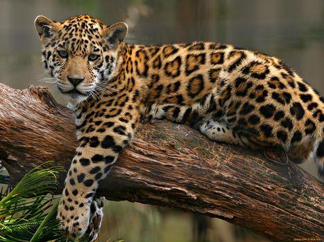 Фото бесплатно ягуар, лежить, гілка