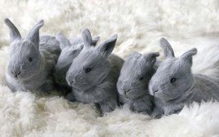 Бесплатные фото зайчата,серые,глаза,уши,нос,усы,покрывало