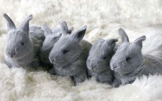Photo free bunnies, gray, eyes