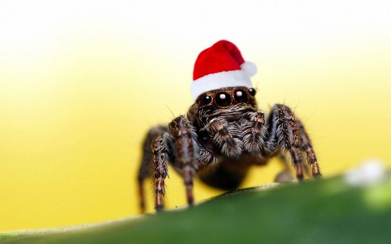 Photo free spider, in the New Year, hat