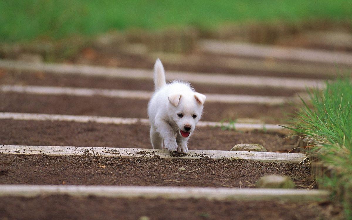 Картинка щенок, белый, уши на рабочий стол. Скачать фото обои разное