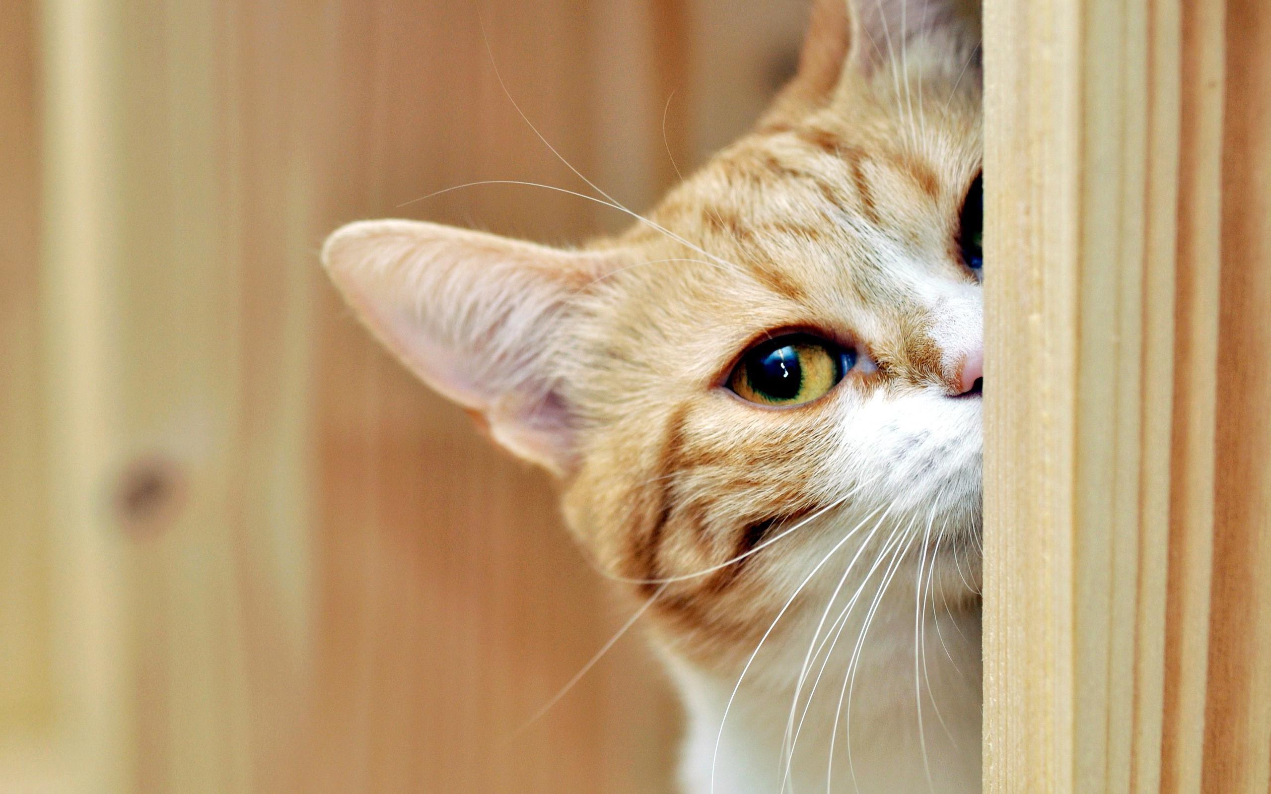 Обои кот, рыжий, наблюдает, дверь