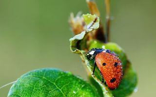 Бесплатные фото божья коровка,красная,лапки,капли,роса,листья,насекомые