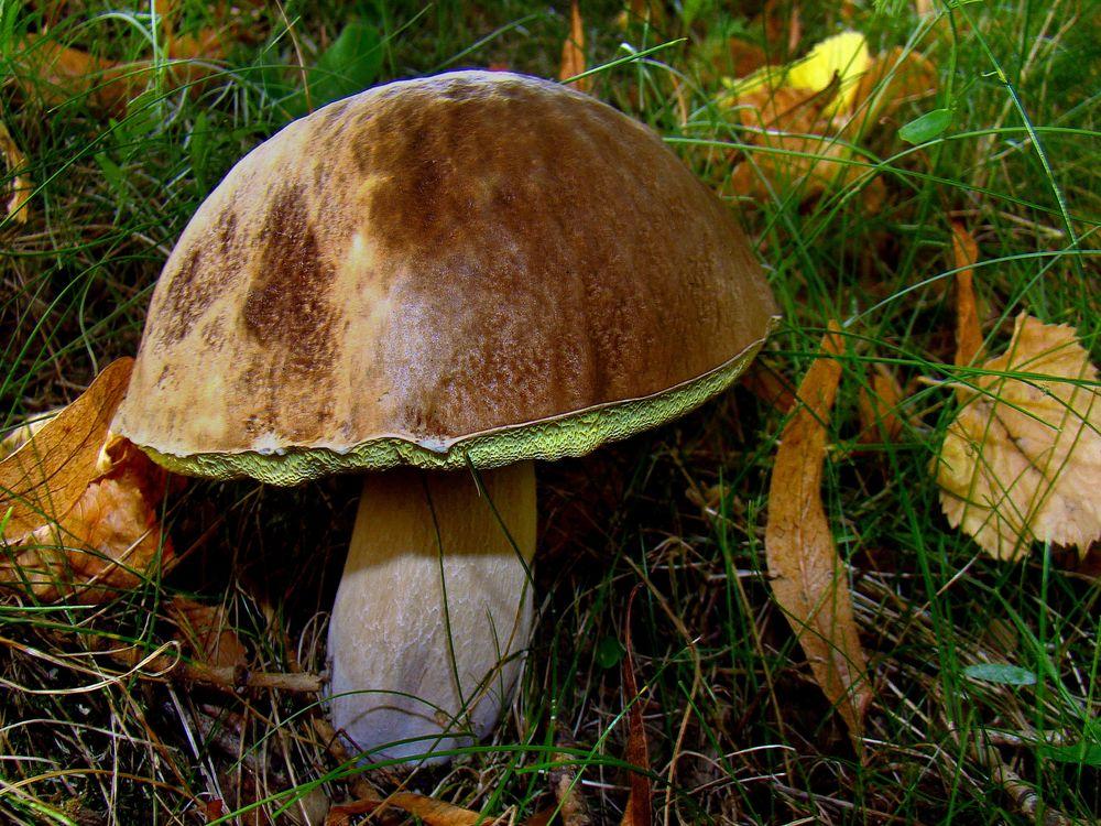 Фото бесплатно гриб, белый, природа - на рабочий стол