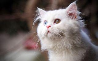 Фото бесплатно кошка, белая, глаза