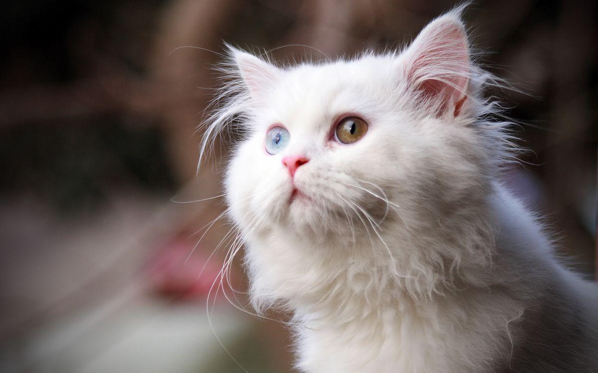 Фото бесплатно кошка, белая, глаза, разного, цвета, шерсть, кошки, кошки